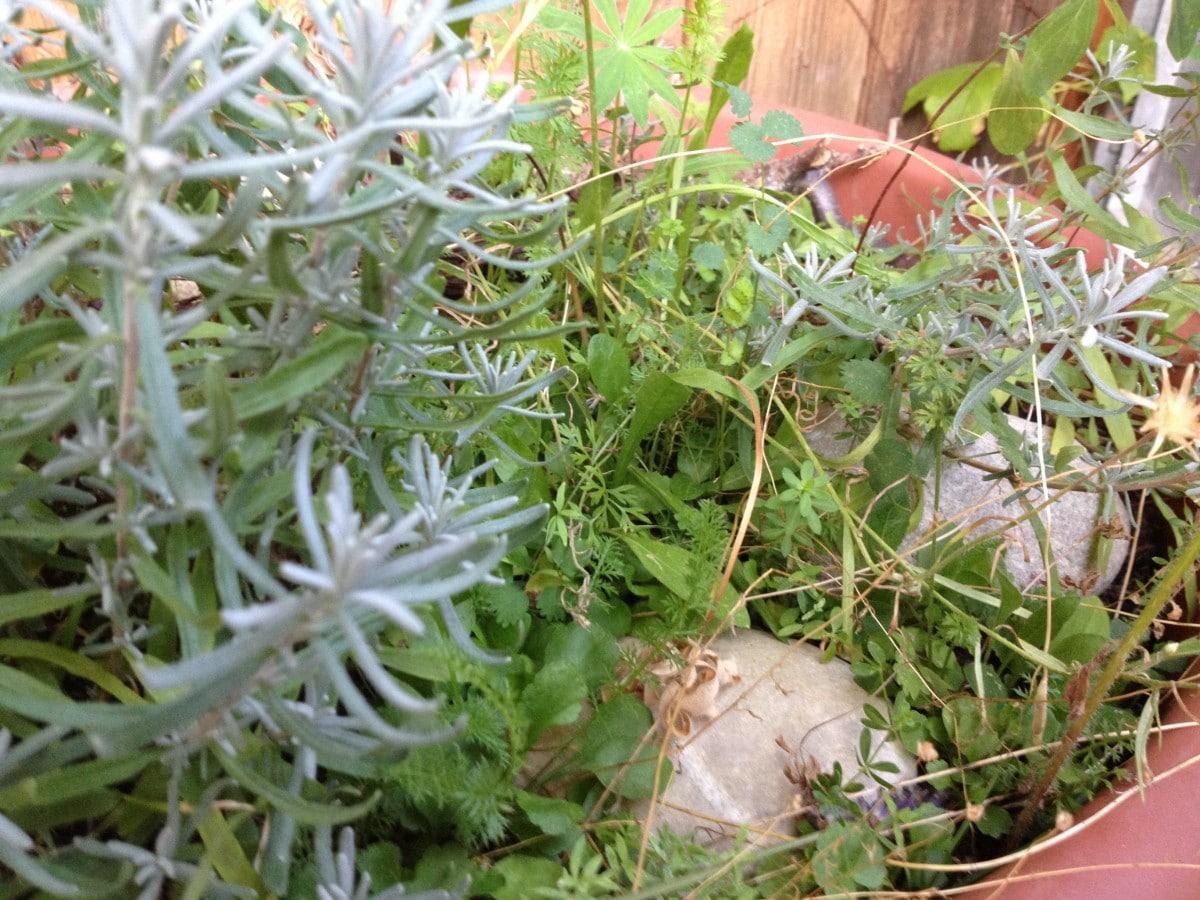 Auch auf einem Balkongarten sollte es eine Zone 5 haben wo es wild wächst.