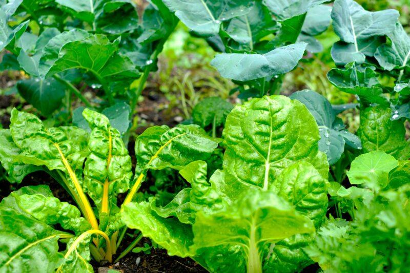 Mangold aus dem eigenen Garten