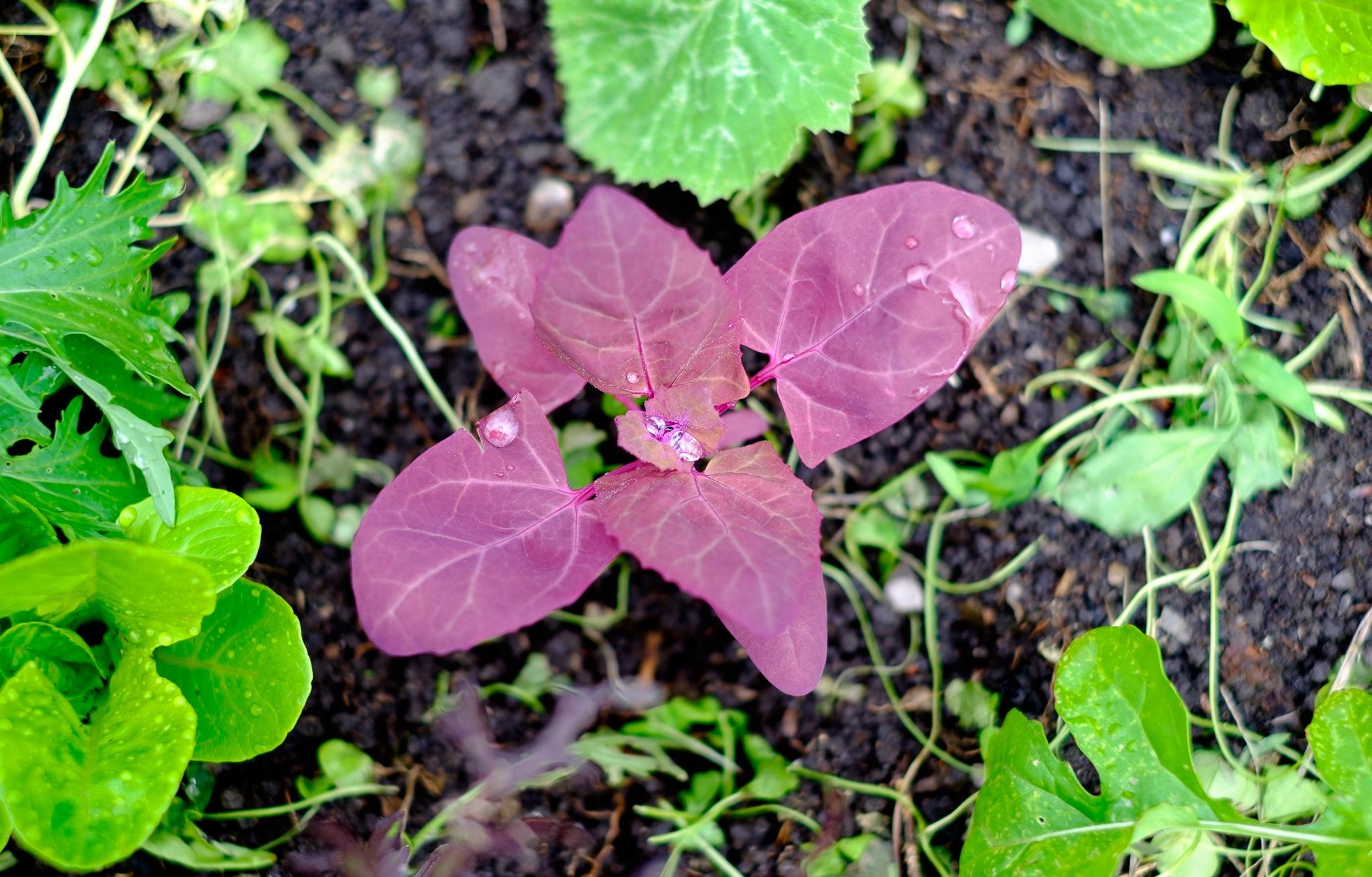 Roter Baumspinat.