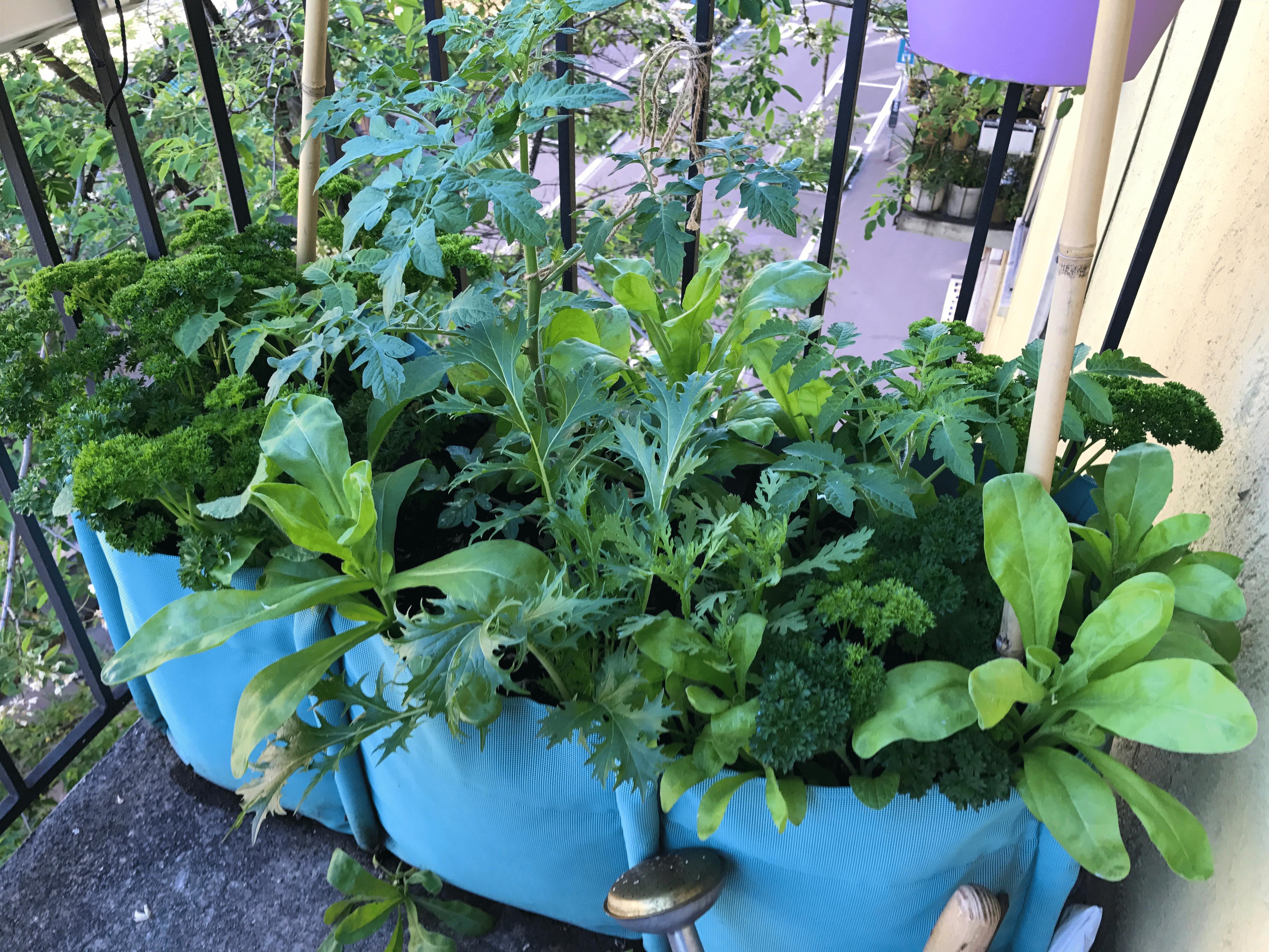 Schützende Pflanzenkombinationen in der Balkonmischkultur aus Tomaten, Petersilie und Salaten