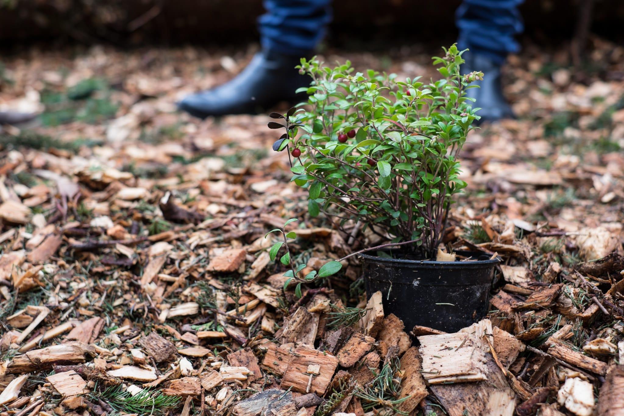 Preiselbeeren bereit zum einpflanzen ins Sauerbeet.