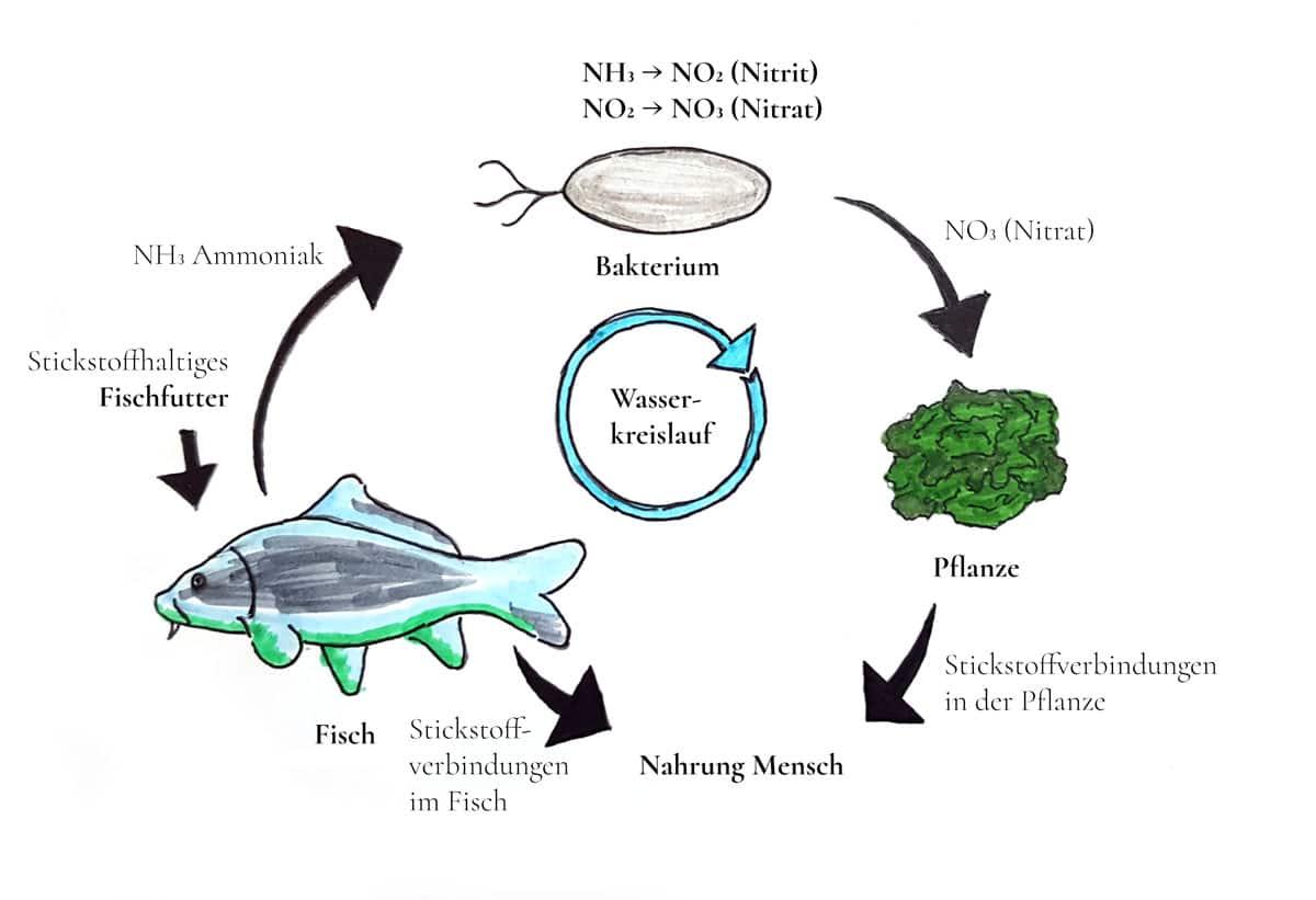Abbildung 3: Detaillierte Darstellung der Funktionsweise einer Aquaponikanlage.