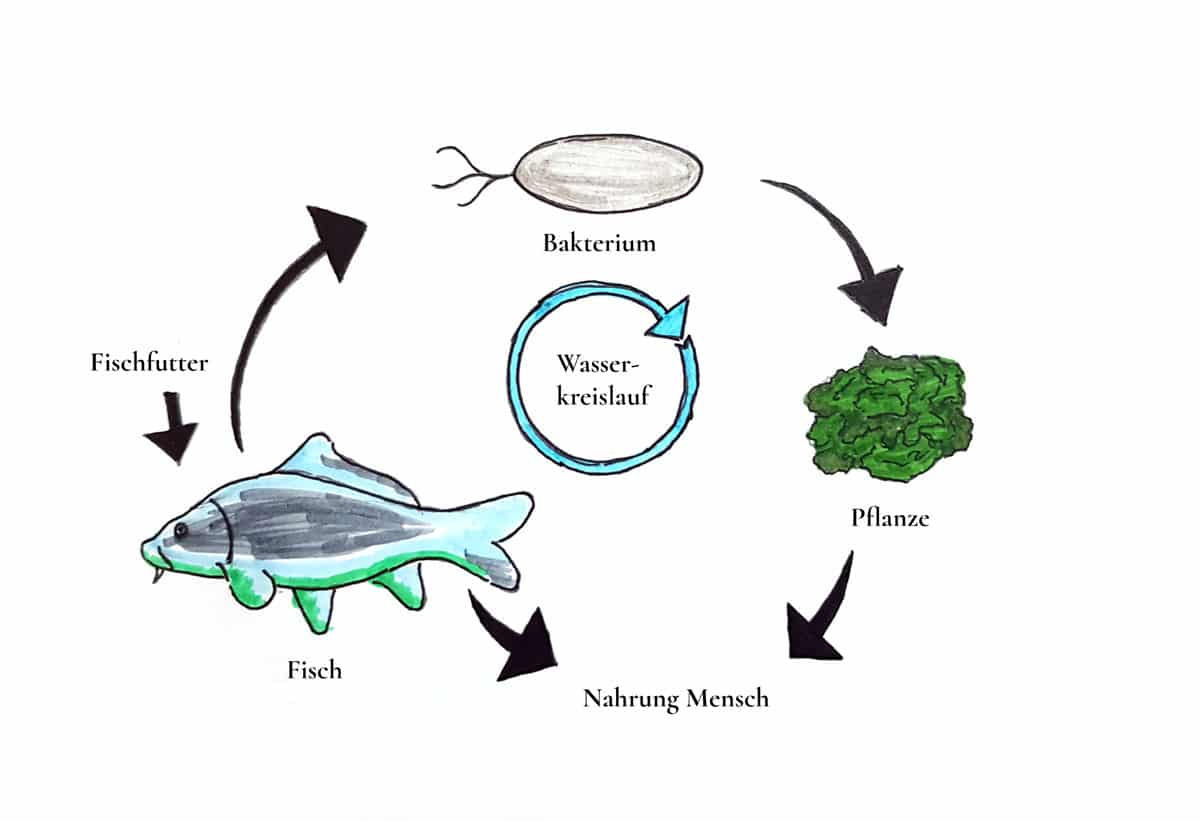 Abbildung 2: Vereinfachte Darstellung der Funktionsweise einer Aquaponikanlage.