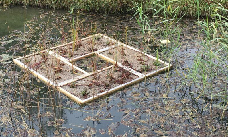 Zusammengesetzte Insel aus vier einzelnen bepflanzten Schwimmplattformen auf dem Teich von Schloss Wyher.